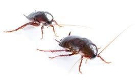 Art couple Cockroach bug   on white Stock Photos