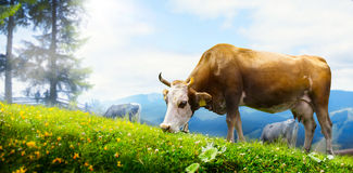 Art cow grazing in a mountain meadow; ecological livestock Royalty Free Stock Images