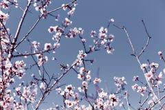 Art de frontière ou de fond de ressort avec les fleurs roses d'amande, belle scène de nature avec l'arbre de floraison, ciel un j photo libre de droits