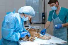 Art dentaire v?t?rinaire Le v?t?rinaire de chirurgien de dentiste nettoie et traite les dents de chien dans une clinique v?t?rina image libre de droits