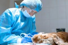 Art dentaire v?t?rinaire Le v?t?rinaire de chirurgien de dentiste nettoie et traite les dents de chien sous l'anesth?sie sur la t photographie stock libre de droits