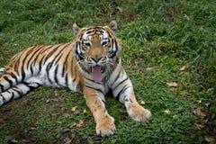 Art: Der Pantheratigris-altaica Stockbild