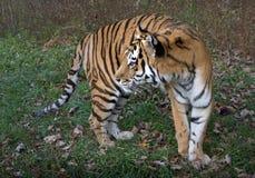 Art: Der Pantheratigris-altaica Stockfoto