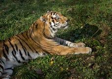 Art: Der Pantheratigris-altaica Lizenzfreie Stockbilder