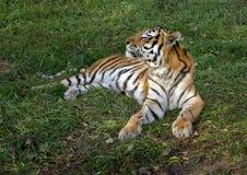 Art: Der Pantheratigris-altaica Lizenzfreies Stockbild