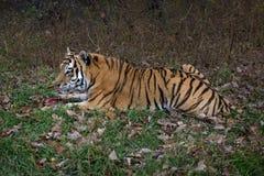 Art: Der Pantheratigris-altaica Lizenzfreies Stockfoto