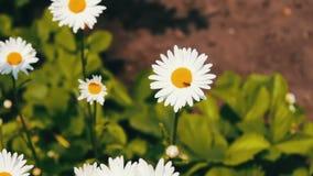 Art des Sommers, der Blumenfelder, der Wiese der wilden Blume, der Botanik und der Biologie Schöne Kamille blüht in einem Garten  stock video