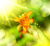 Defocus orange lily flowe Stock Image