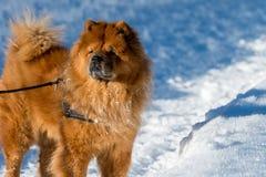 Art du portrait de chien mignon avec la neige à l'arrière-plan Photo stock