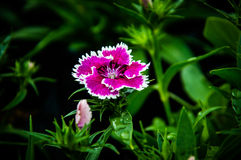 Art för flicka för Deltoides fjärilsblomma rosa av fjärilsna Arkivfoton
