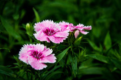 Art för flicka för Deltoides fjärilsblomma rosa av fjärilsna Royaltyfria Foton