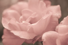 Art floral background with rose flower royalty free stock photography