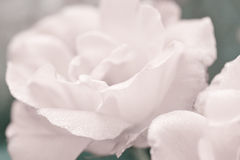 Art floral background with rose flower Royalty Free Stock Images