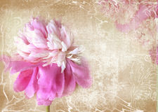 Art floral grunge background. Beautiful pink peony flower with copy space. Royalty Free Stock Photography