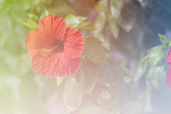 Art  of Flower Hibiscus. Amazing and mysterious hibiscus - flower Stock Photo