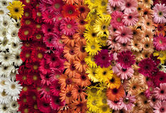 The art of the Gerbera Stock Photos