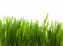 Art  green grass on white background. Growth of young green grass on white background Royalty Free Stock Image