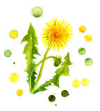 Art image of yellow dandelion in color drops Royalty Free Stock Image