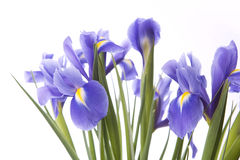 Art irises Royalty Free Stock Photos