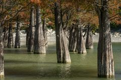 Art from nature. The trunks of swamp cypresses are completely unique in their beauty and texture. A group of cypress Taxodium dist. Ichum in a lake in Sukko stock photography