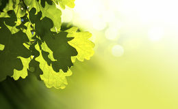Art oak. The Art oak green leaves Royalty Free Stock Photos