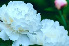 Art photography of blooming peonies. White flower in springtime. Art photography of blooming peonies. White flower in spring time. Blossoming peonies for poster stock images