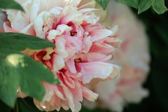 Art photography of blooming peony with colorful textured background. stock photo