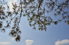 Art of pine leaf details Stock Photography