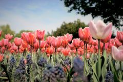 Pink Orange Tulips at Festival. Tulip flowers as far as the eye can see in a garden during the annual Ottawa Tulip Festival Royalty Free Stock Photo