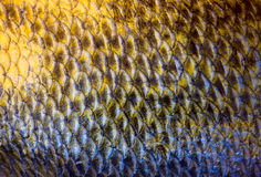 Art Real zander Fish Scales Royalty Free Stock Image
