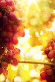 Art Ripe grapes Stock Images