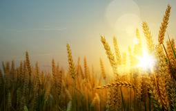 Art  ripening ears of yellow wheat field Royalty Free Stock Photography