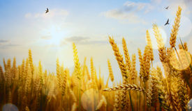 Art ripening ears of yellow wheat field on the sunse Royalty Free Stock Images
