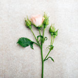 Art rose background Royalty Free Stock Images