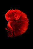 The Art of Siamese fighting betta Stock Images
