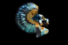 The Art of Siamese fighting betta Stock Photo