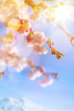 Art Spring background with pink blossom Royalty Free Stock Image