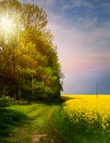 Spring countryside landscape; sunrise over blooming yellow field royalty free stock photography