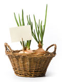 Art spring onions growing in the basket royalty free stock images