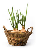 Art spring onions growing in the basket Royalty Free Stock Image
