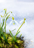 Art Spring snowdrop flowers with snow in the forest Stock Images