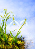 Art Spring snowdrop flowers with snow in the forest Stock Photo