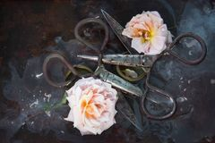 Art still life with two old rusty rose roses on a dark background in the water and two huge blossoming flowers of a tea rose, with. Art still life with two old Royalty Free Stock Photography