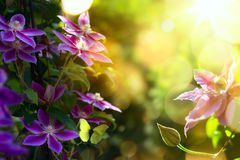 Art Summer beautiful garden background with clematis f Stock Photo