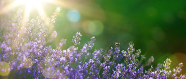Art Summer beautiful garden with lavender flowers Stock Photos