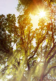 Art Sunbeams in forest Royalty Free Stock Image