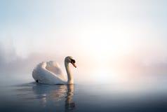 Art Swan die op het water bij zonsopgang van de dag drijven Stock Foto's