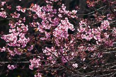 Art transparent, blooming sakura cherry in the branches of trees, pink flowers in full bloom. Spring blossom. Bright sunbeam with royalty free stock image