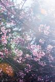Art transparent, blooming sakura cherry in the branches of trees, pink flowers in full bloom. Spring blossom. Bright sunbeam with stock images