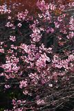 Art transparent, blooming sakura cherry in the branches of trees, pink flowers in full bloom. Spring blossom. Bright sunbeam with royalty free stock photos